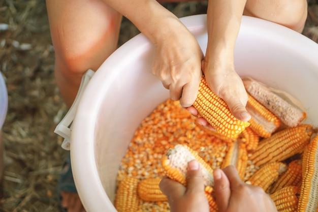 Trabalhador mãos de mulher segurando uma espiga de milho e separando os grãos