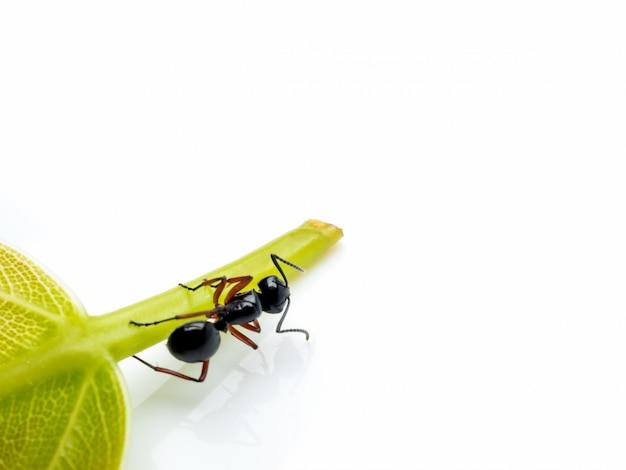 Trabalhador polyrhachis laevissima formiga na folha verde