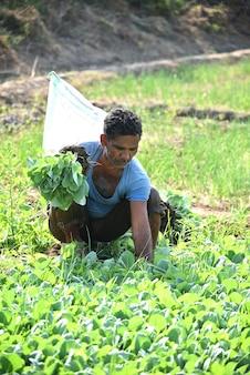 Trabalhador rural indiano não identificado plantando repolho no campo e segurando um monte de pequena planta de repolho nas mãos na fazenda orgânica.