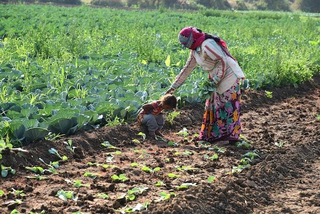 Trabalhador rural não identificado indiano plantando repolho no campo e segurando um monte de pequena planta de repolho nas mãos na fazenda orgânica.
