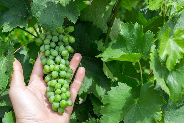 Trabalhador vinhedo, verificar, uvas, qualidade, em, vinhedo