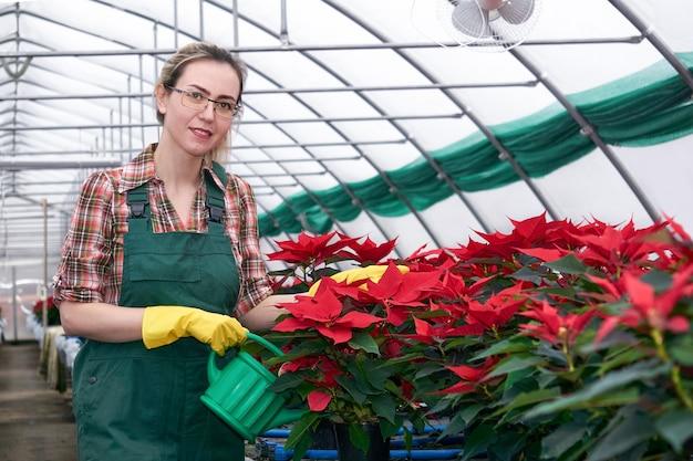 Trabalhadora agrícola fertiliza flores de poinsétia em uma estufa a partir de um regador