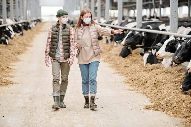 Trabalhadora de uma fazenda de animais e seu filho adolescente em trajes casuais e máscaras protetoras caminhando ao longo do corredor entre os piquetes com vacas