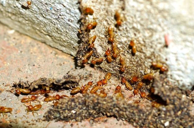 Trabalhadores de cupins pequenos trabalhadores de cupins reparando um túnel na árvore
