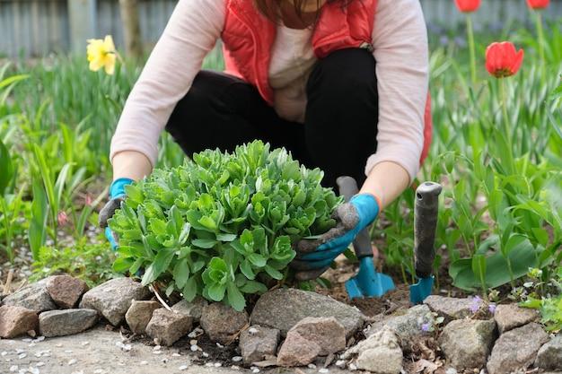 Trabalho de primavera no jardim, mulher com as mãos nas luvas com ferramentas de jardim, em primeiro plano arbusto verde jovem sedum telephium, stonecrop