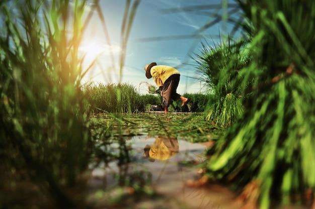 Trabalho do fazendeiro no campo de arroz