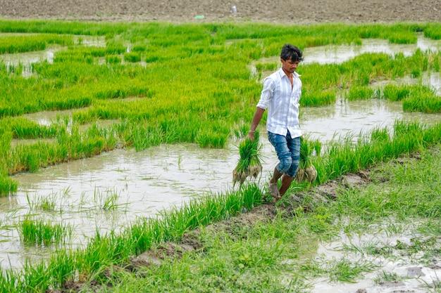 Trabalho indiano trabalhando no campo de arroz