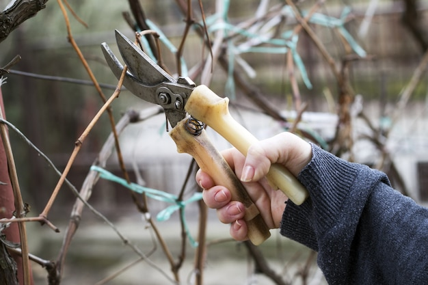 Trabalho no jardim. mulher, corte, videira uva, usando, secateurs