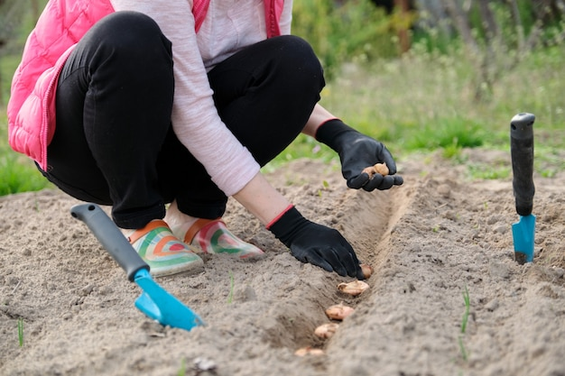 Trabalho sazonal de primavera, plantio em solo cultivado de gladíolos de bulbos de flores, jardineiro trabalhando com as mãos em luvas com ferramentas de jardim