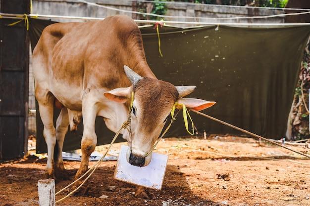 Tradição muçulmana de sacrifício de vaca animal para qurban eidaladha