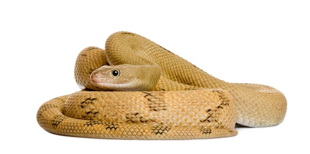 Trans-pecos rato cobra, bogertophis subocularis, enrolado