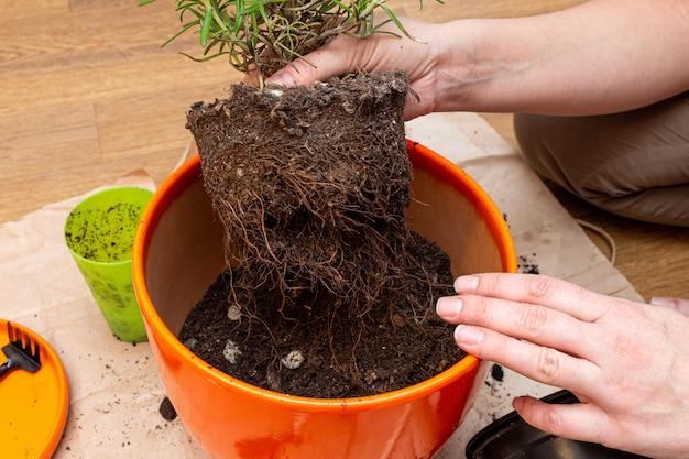 Transplantar uma planta doméstica com raízes crescidas em um novo vaso