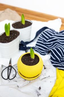 Transplante de bulbos de jacinto em vasos, ferramentas de jardim encontram-se no fundo, luvas amarelas.
