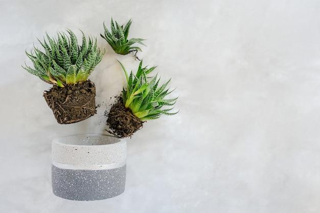 Transplante de flores e plantas de interior.