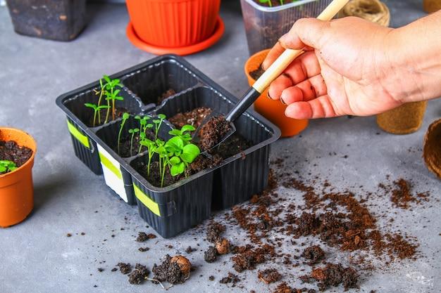 Transplante, plantio, polvilhar mudas sobre um fundo cinza e concreto.