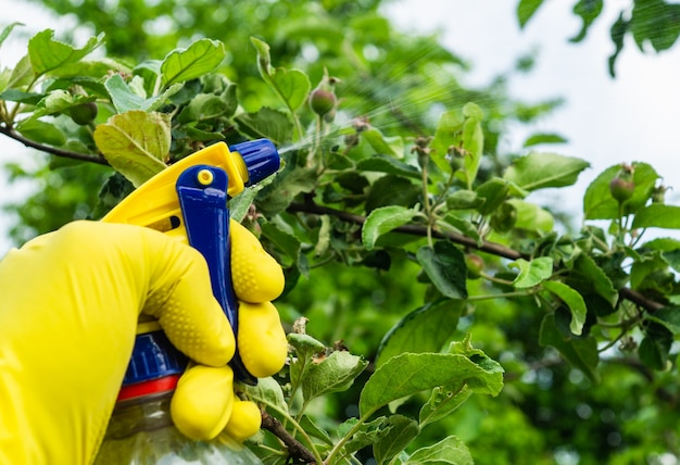 Tratamento de galhos de macieiras no verão com fungicida contra pragas
