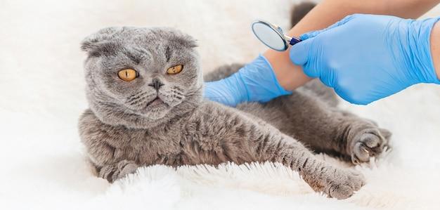 Tratamento de um gato, um estetoscópio nas mãos de um médico.