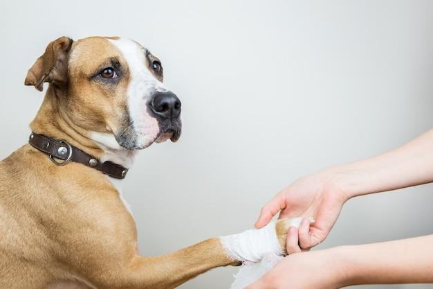 Tratamento médico do conceito de animal de estimação: enfaixando a pata de um cachorro. mãos aplicando curativo em uma parte do corpo ferida de um cão