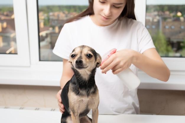 Tratamento veterinário de um animal de estimação contra carrapatos, pulgas, parasitas