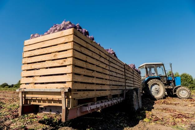 Trator na colheita de campo de raízes de beterraba.