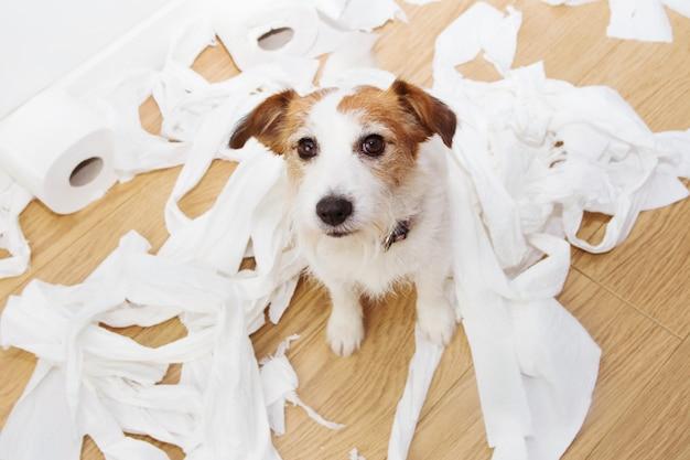 Travessura do cão culpado após jogar mordendo o banheiro de rolamento