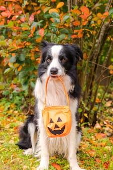 Travessuras ou gostosuras conceito cachorro engraçado cão border collie segurando cesta de abóbora na boca sentado no outono ...