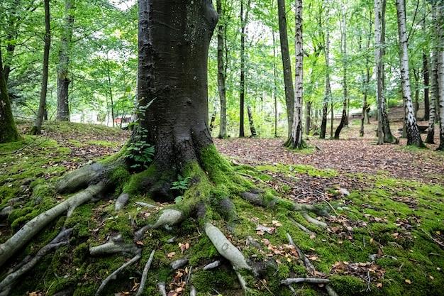 Tree roots e wood slottsskogen park gotemburgo, suécia