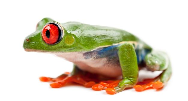 Treefrog de olhos vermelhos, agalychnis callidryas, contra o espaço em branco