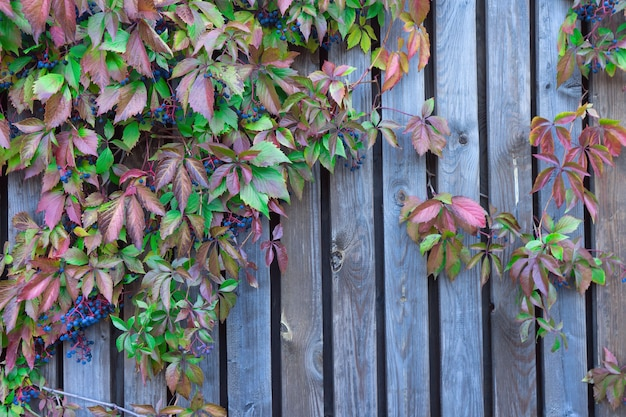 Treliça de madeira com folhas vermelhas de uvas bravas.