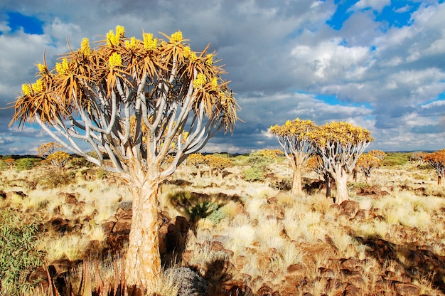 Tremer floresta de árvores. kokerbooms na namíbia, áfrica. natureza africana