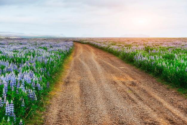 Tremoço azul selvagem que floresce na grama alta no verão