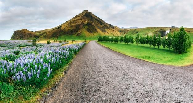 Tremoço azul selvagem que floresce na grama alta