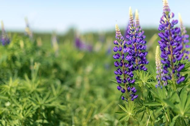 Tremoço roxo floresce no campo no verão. flores silvestres
