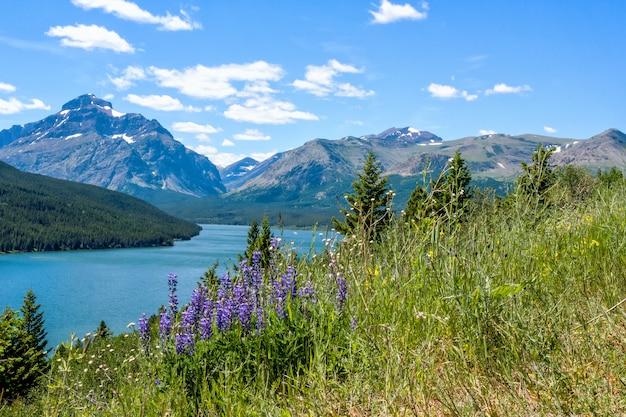 Tremoços de primavera em primeiro plano no parque nacional glacier