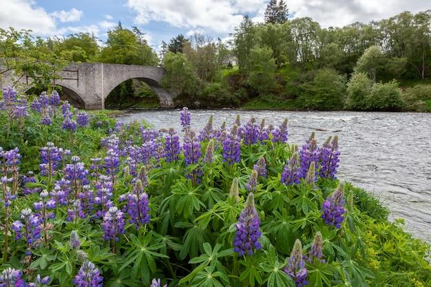 Tremoços selvagens (lupinus perennis) florescendo perto de um rio na escócia