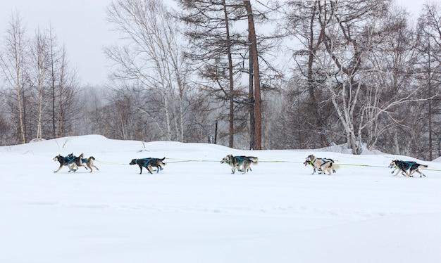 Trenó de cachorro correndo em uma paisagem de inverno