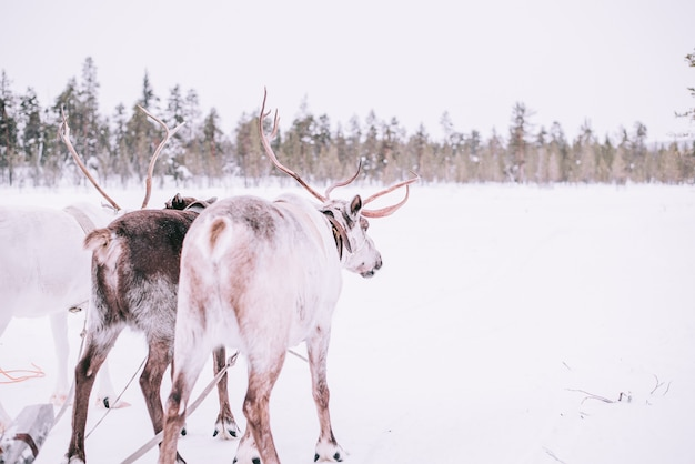 Trenó de renas, no inverno