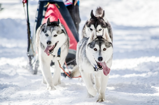 Trenós puxados por cães. equipe do cão de trenó do cão de puxar trenós siberian no chicote de fios. cães husky tem cor casaco preto e branco.