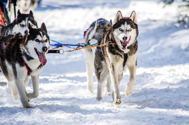 Trenós puxados por cães. equipe do cão de trenó do cão de puxar trenós siberian no chicote de fios.