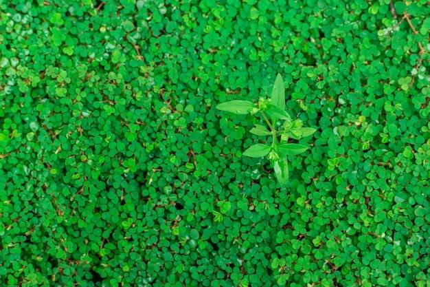 Trepadeira de folha redonda verdebai tang rian é uma planta trepadeira usada como pano de fundo natural