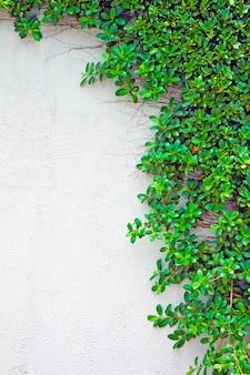 Trepadeira verde na parede