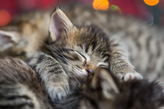Três adorável fofo, cinza com listras escuras de um gatinho dorme em uma manta vermelha. de luzes de natal multicoloridas