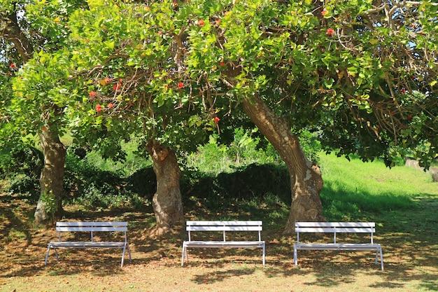 Três bancos de madeira brancos sob a árvore de flor na luz solar da ilha de páscoa, chile