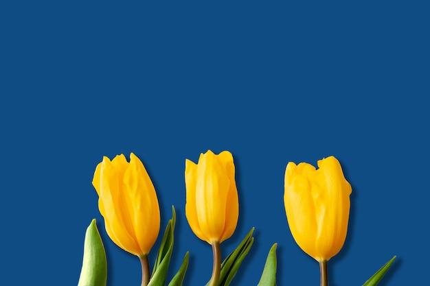 Três botões de tulipas amarelas em um fundo azul