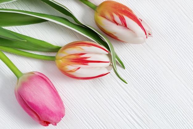 Três botões de tulipas florescendo multicoloridos em madeira branca