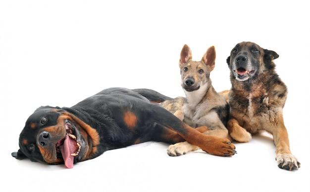 Três cachorros em estúdio