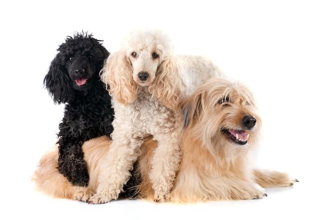 Três cachorros