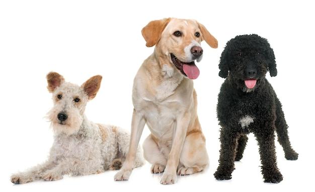 Três cães de raça pura