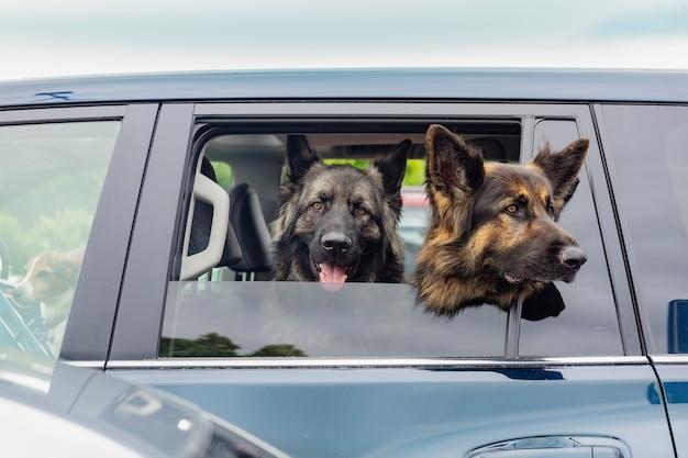 Três cães pastores estão esperando por seu dono no carro