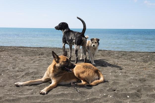 Três cães vadios caminham na areia magnética negra da praia do mar negro